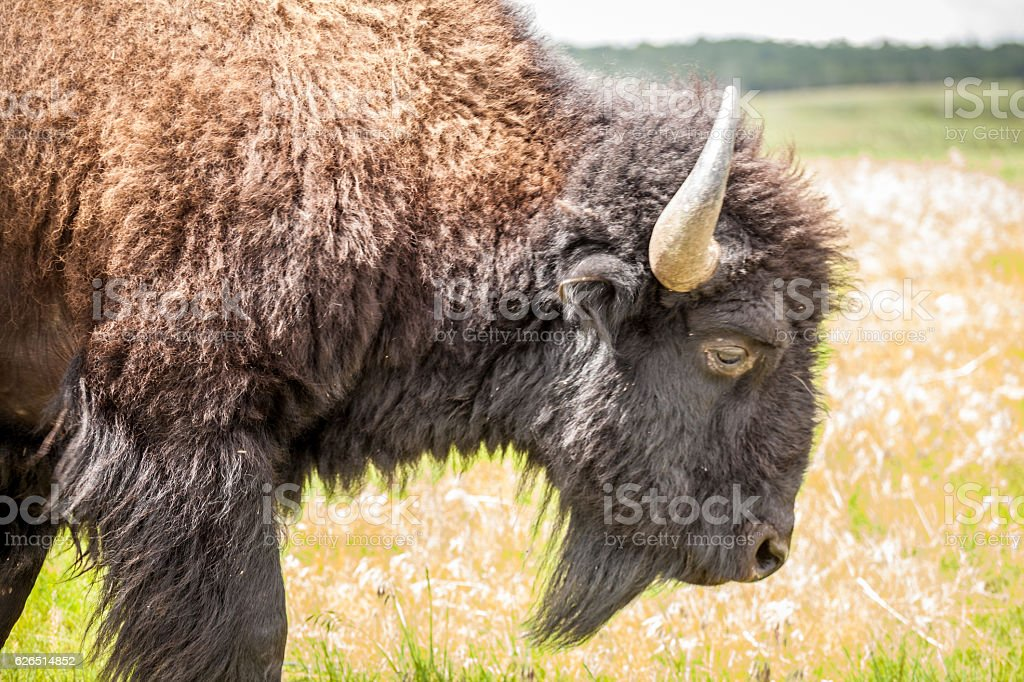 Close up of big buffalo. stock photo