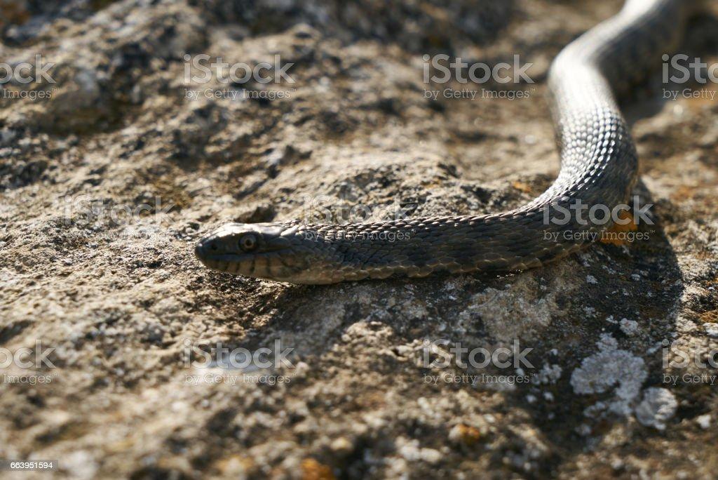 Close up of Big european Non venomous adder snake stock photo