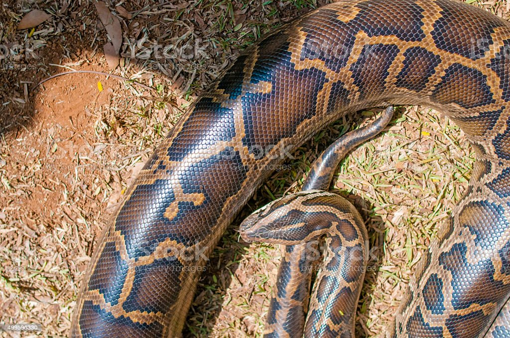 Close up of big Tiger Reticulated Python stock photo