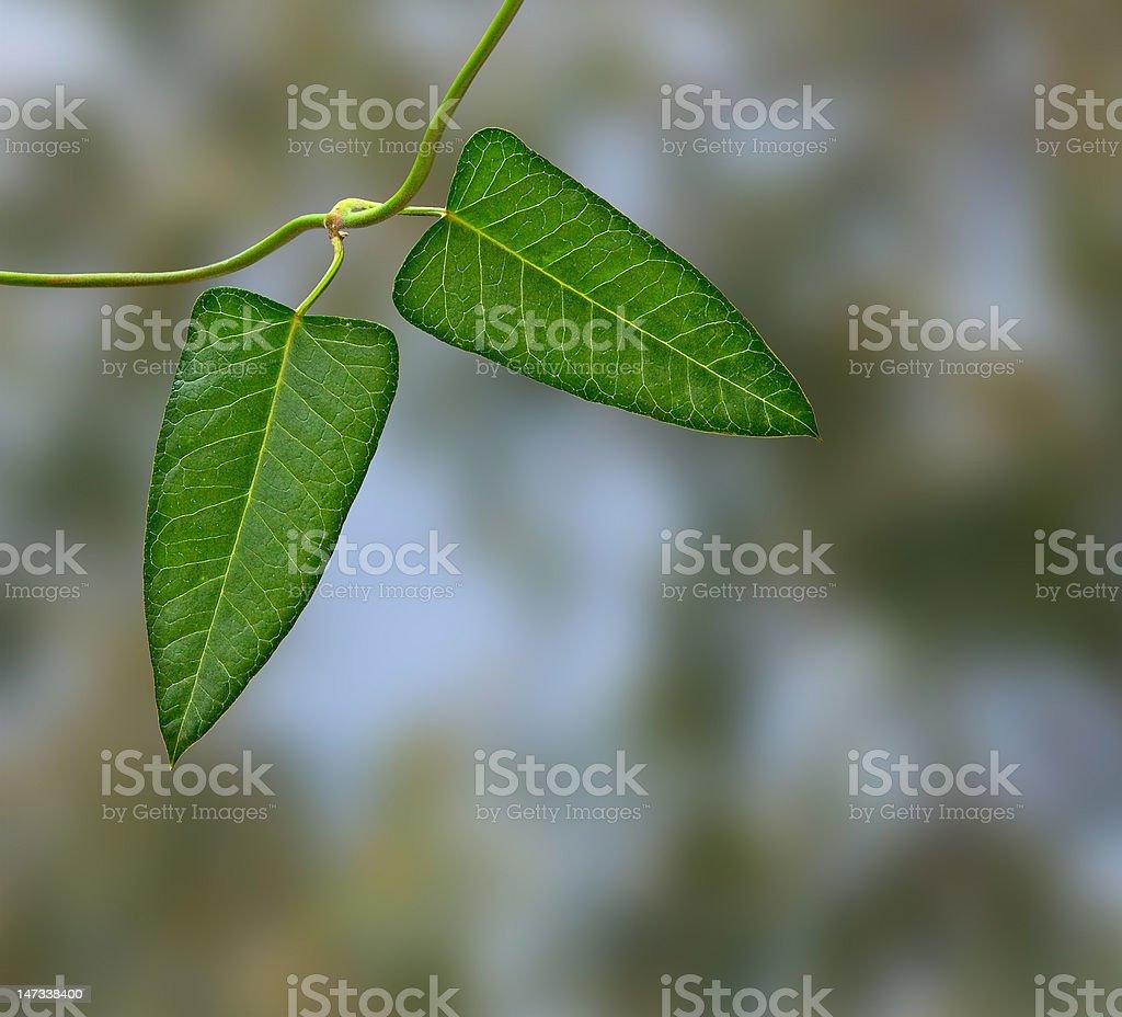 Close up of bindweed stock photo