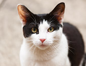 Close up of black and white cat