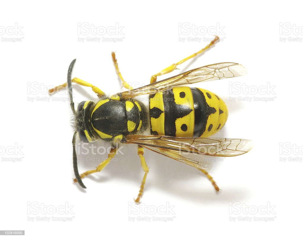 Close up of black and yellow wasp stock photo