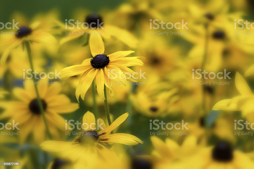 Close up of Black Eyed Susans stock photo