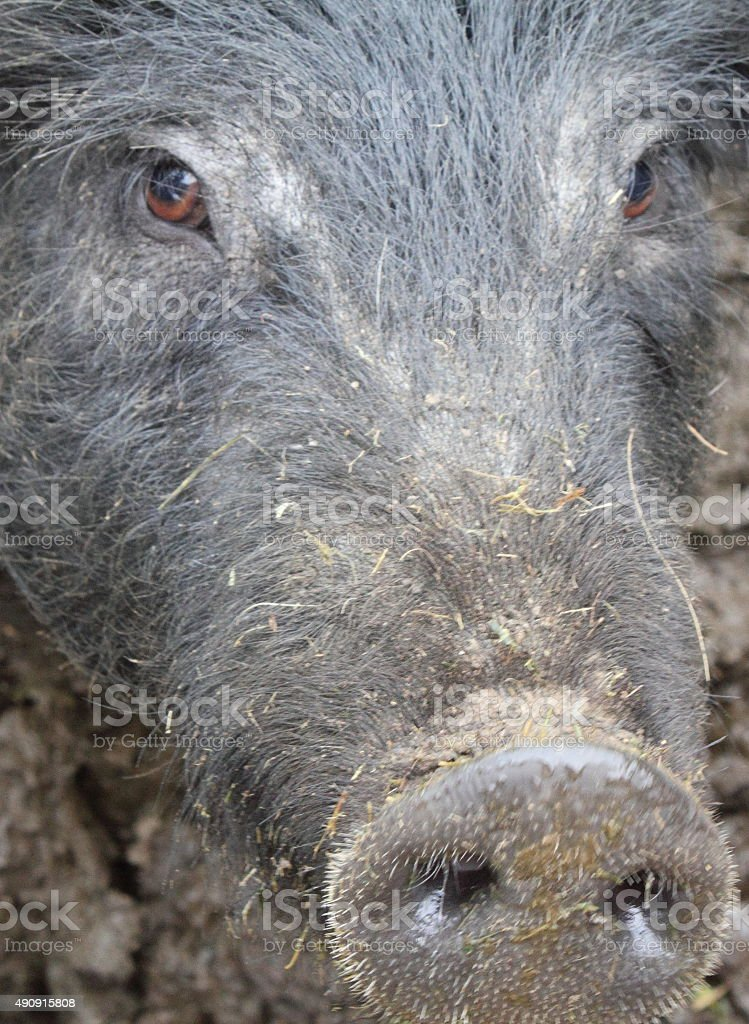 Close up of black pig's face stock photo