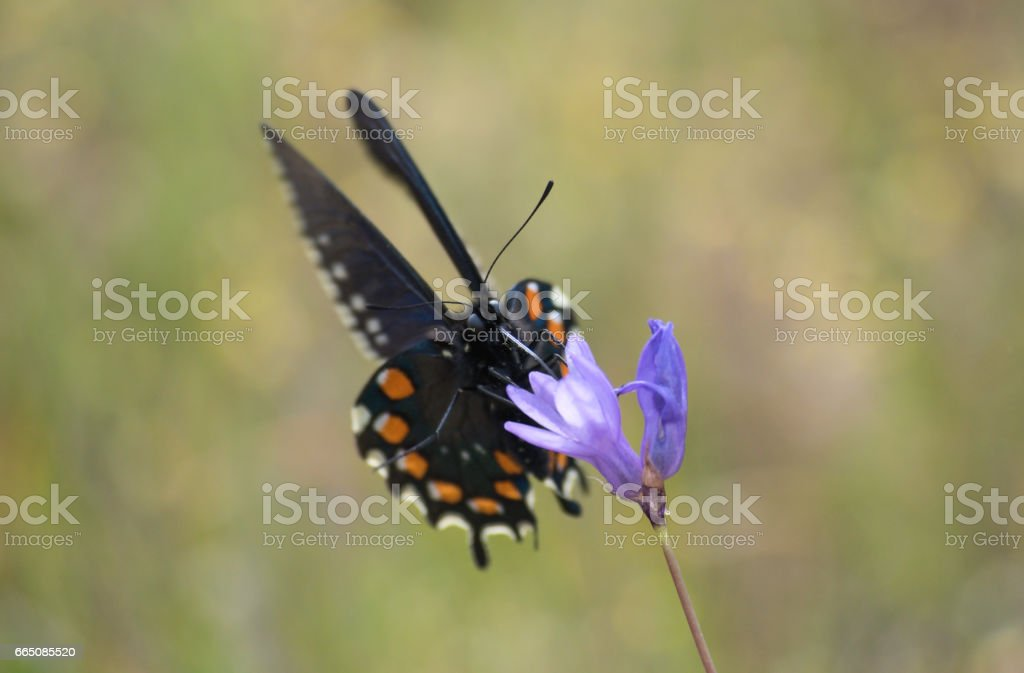 Close Up of Black Swallowtail Butterfly Gathering Nectar from a Purple Wildflower stock photo
