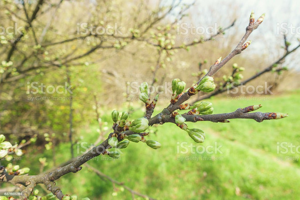 Close Up Of Blooming Pear stock photo