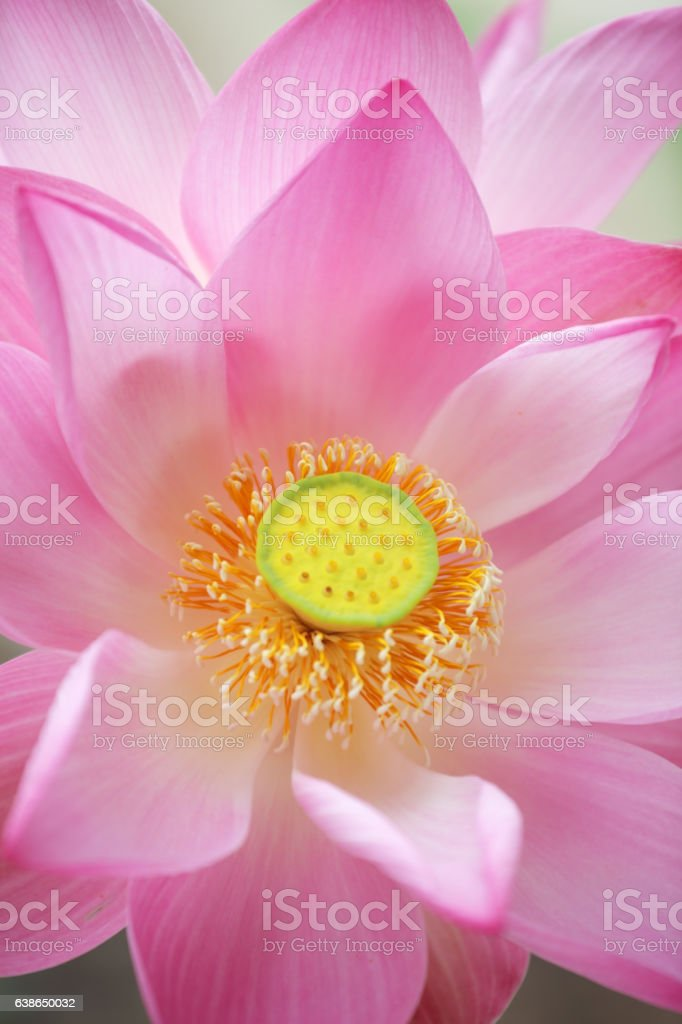 close up of blossom pink lotus flower stock photo