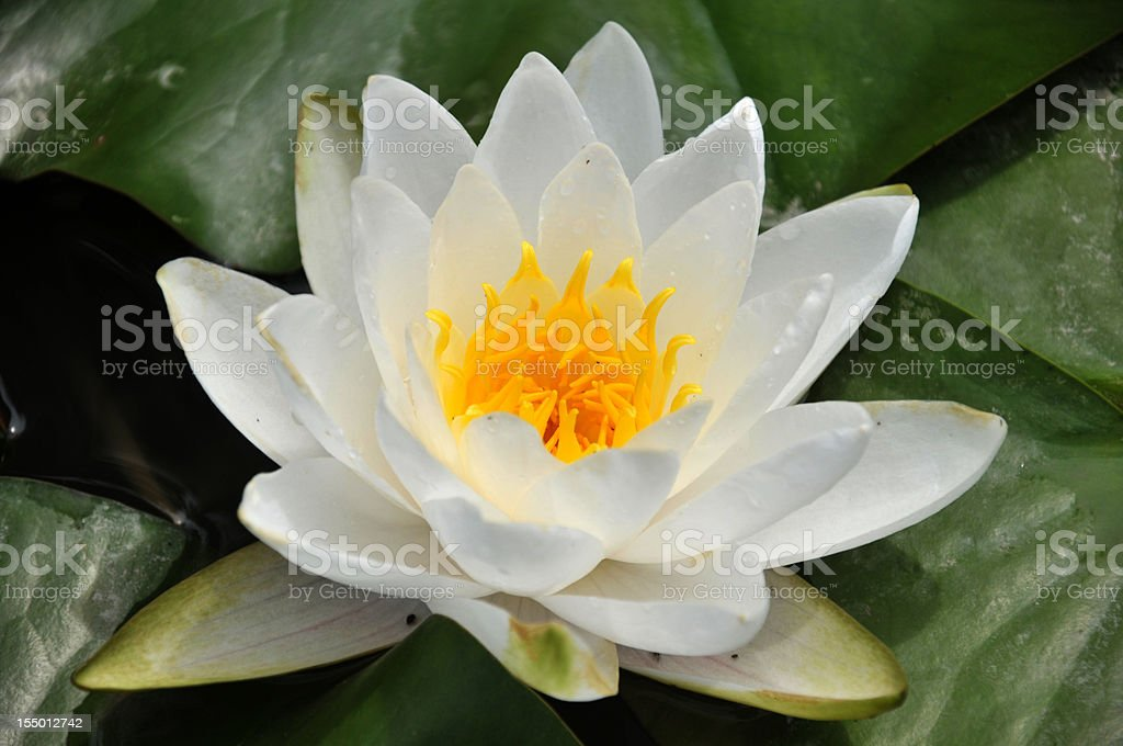 Close up of blossom white waterlily royalty-free stock photo