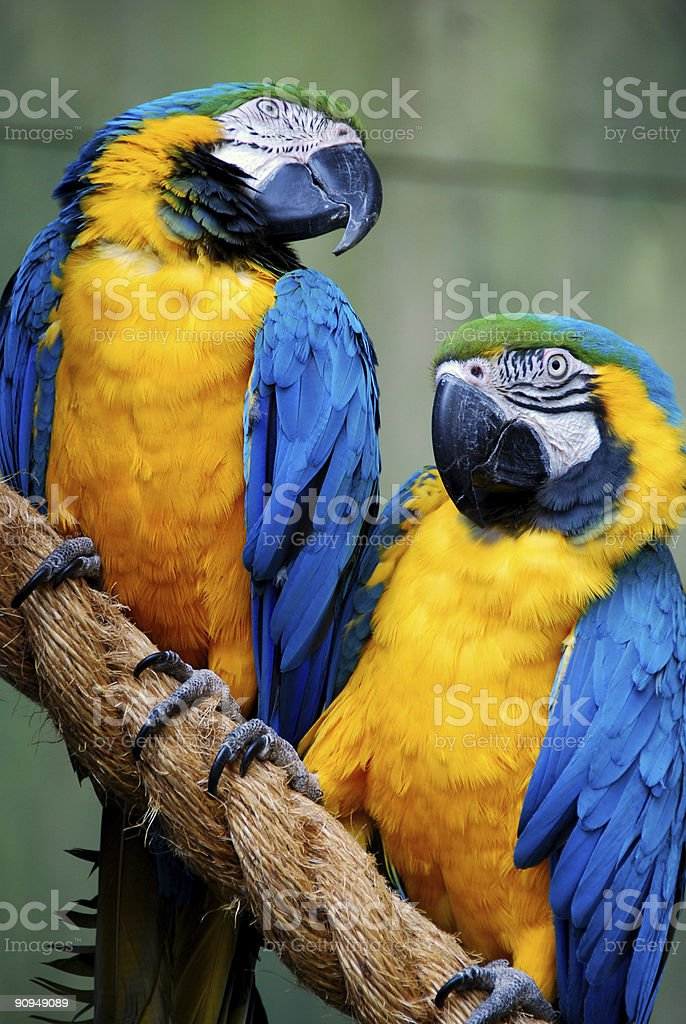 Close up of blue and yellow Macaw couple perched on a branch royalty-free stock photo