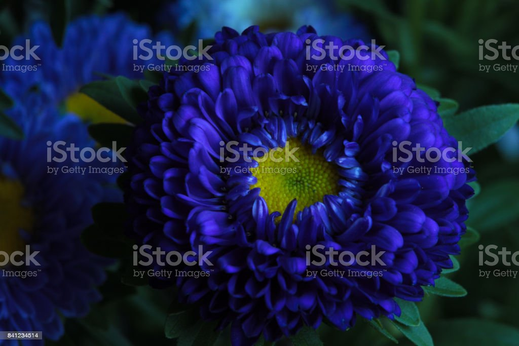Close up of Blue Chrysanths (Chrysanthemum). stock photo