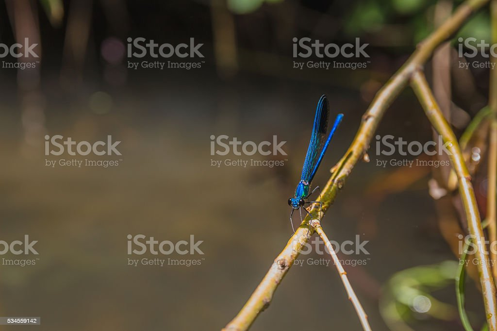 Close up of blue dragonfly on a branch stock photo