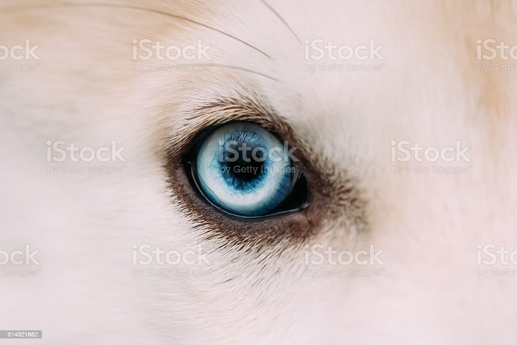 Close Up Of Blue Eye Of Husky Dog Puppy stock photo