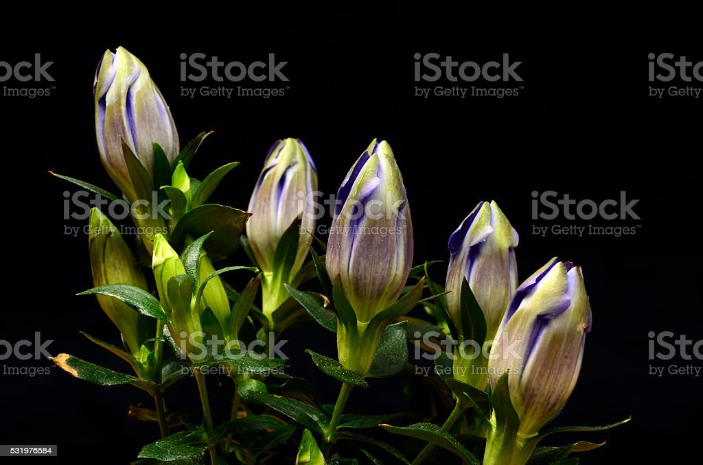 Close up of Blue gentian stock photo