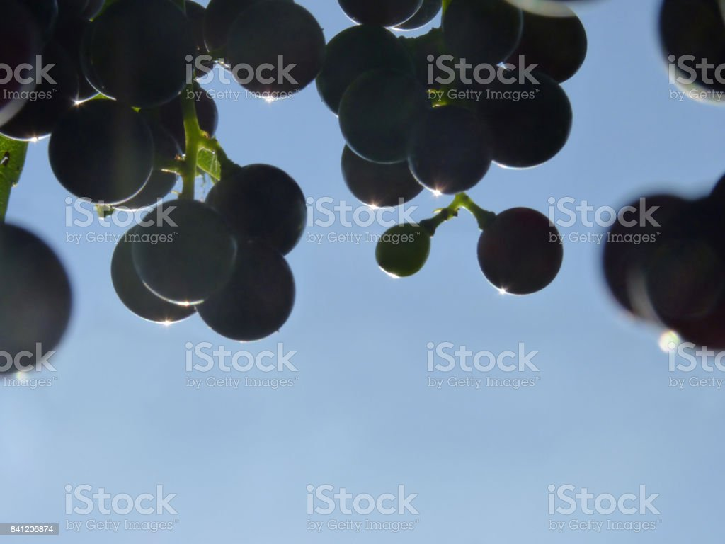 Close Up of Blue Grape Cluster in Sunset stock photo