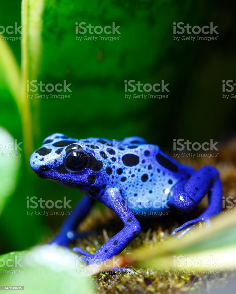 Close up of blue poisonous dart frog on a leaf stock photo