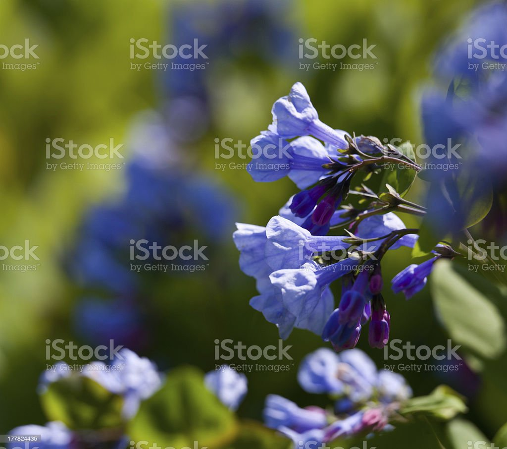 Close up of bluebells in April stock photo
