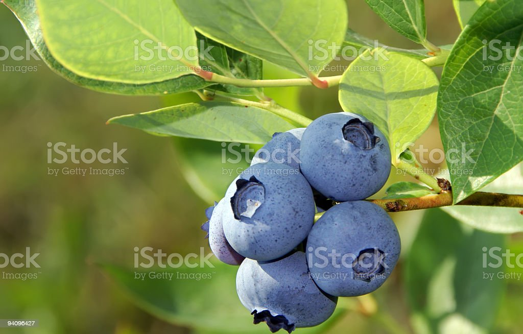 Close up of blueberries on bush stock photo