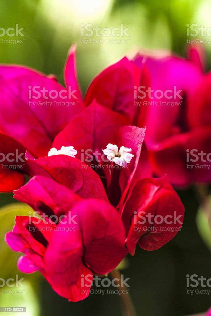 Close up of bougainvillea tropical flowers stock photo