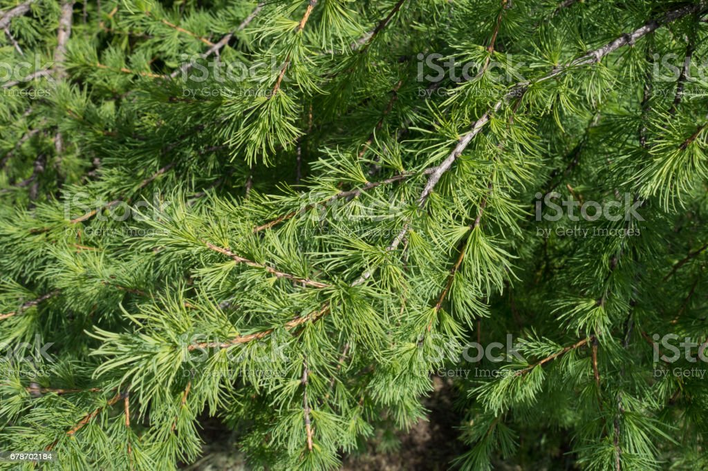 Close up of branch of larch in spring stock photo