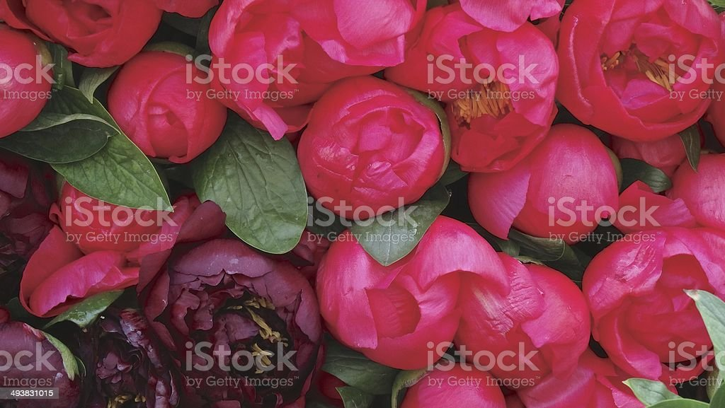 Close up of bright pink peonies royalty-free stock photo