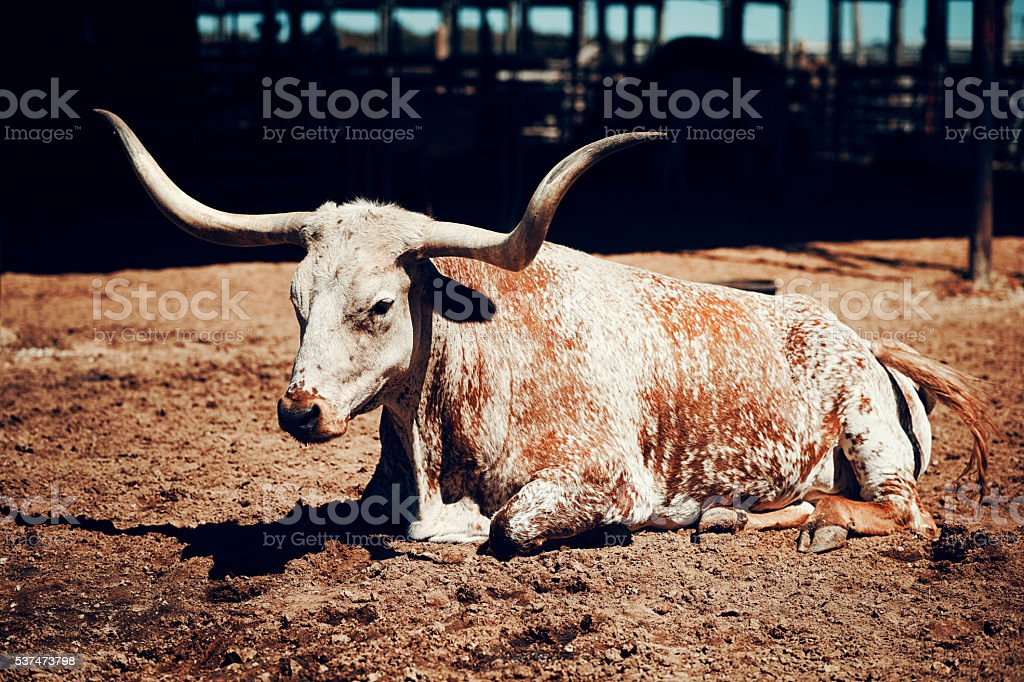 Close up of broun spotted Texas longhorn stock photo