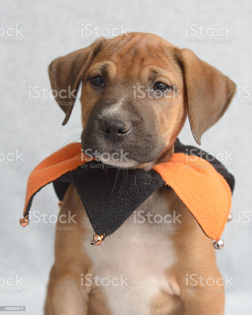 Close up of brown and white puppy with jester collar stock photo