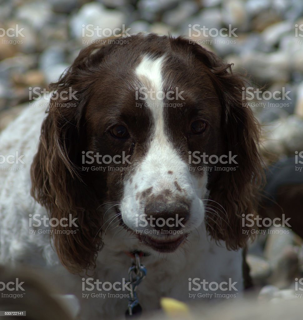 Close Up of Brown and White Spaniel Dog stock photo