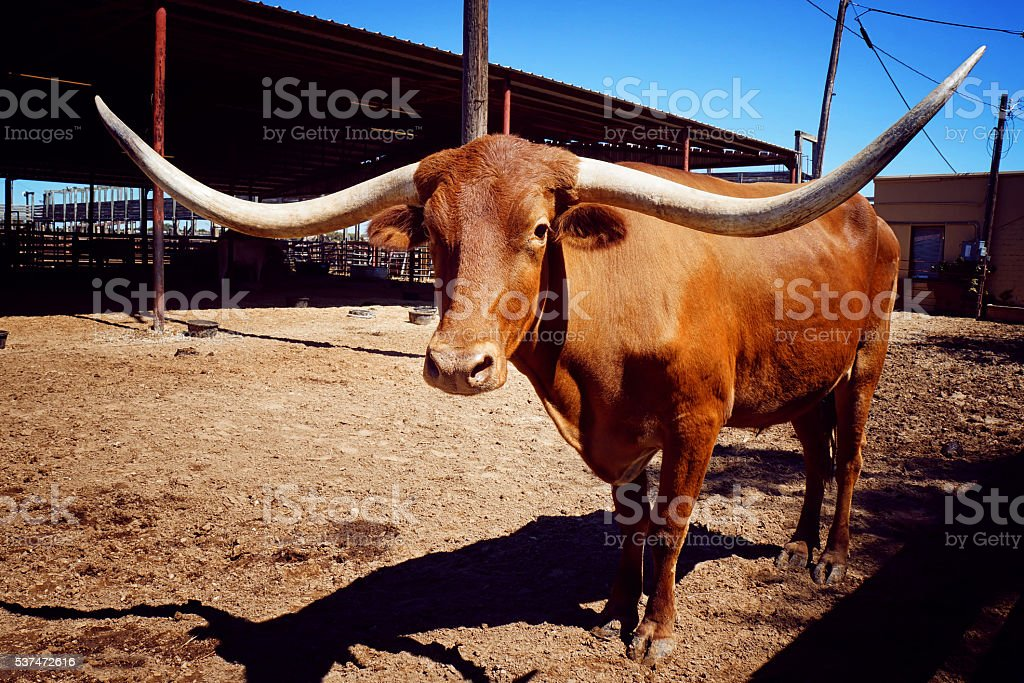 Close up of brown Texas longhorn stock photo