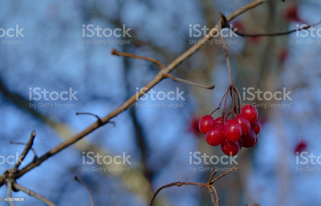 Close up of bunches of rowan berries stock photo