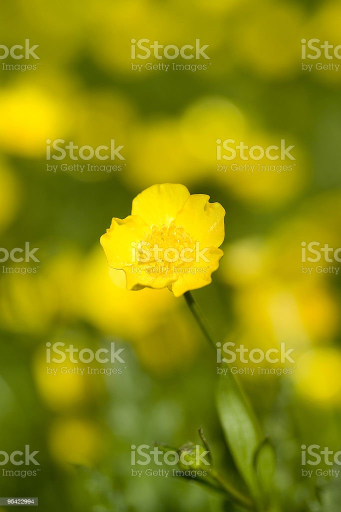 Close up of buttercup in field stock photo