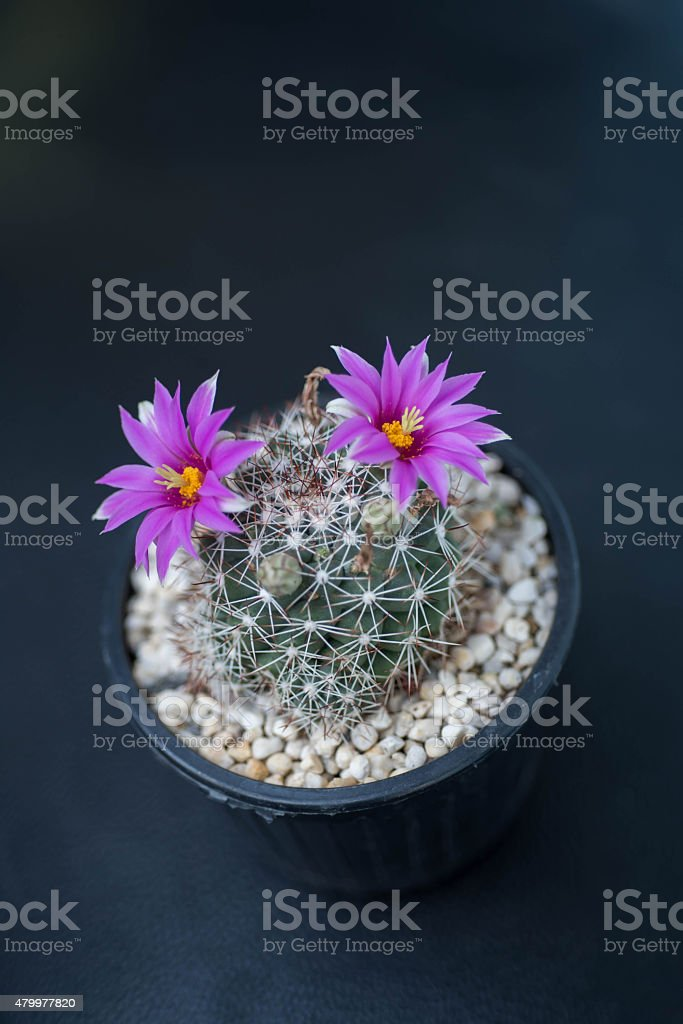 close up of cactus flower stock photo