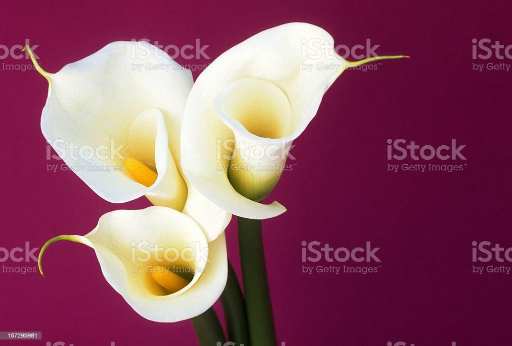 Close up of calla royalty-free stock photo