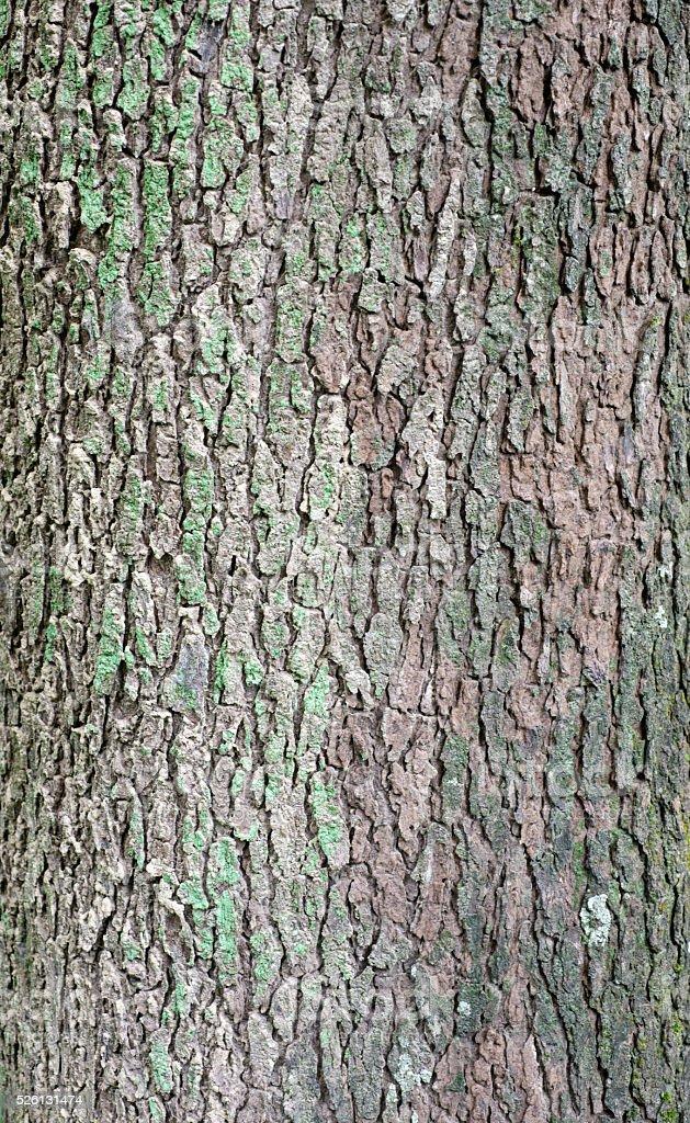 close up of camphor  tree bark stock photo