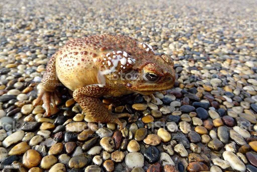 Close up of cane toad on pebbled surface, Australia stock photo