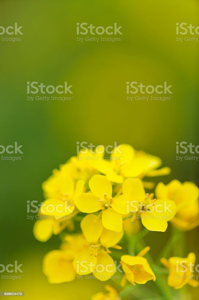 Close Up of Canola Flower in Spring stock photo