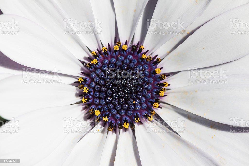 Close up of cape daisy royalty-free stock photo