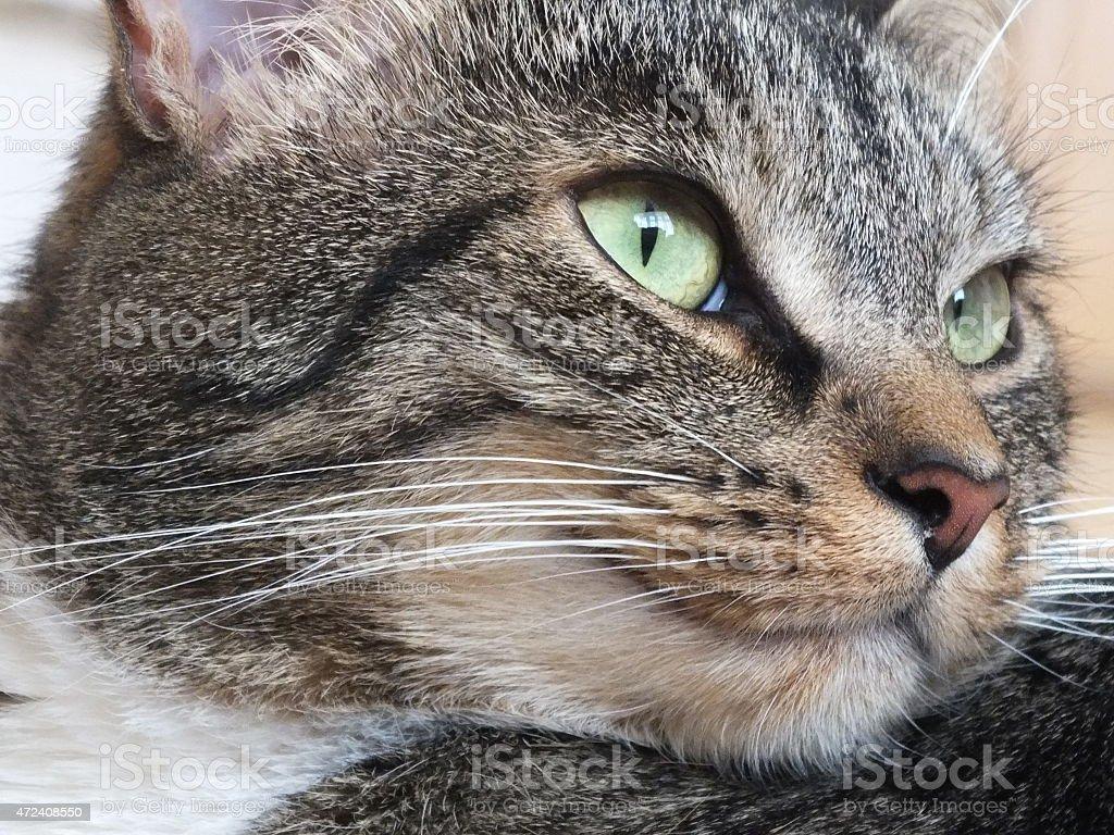 Close-up de um gato com Olhos Verdes foto royalty-free