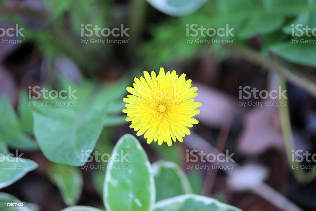 Close up of Centered Yellow Dandelion Flower stock photo