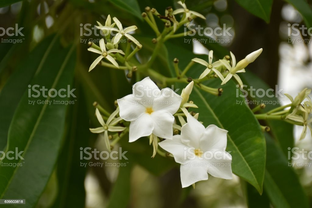 Close up of Cerbera odollam Gaertn flower with leaves. stock photo