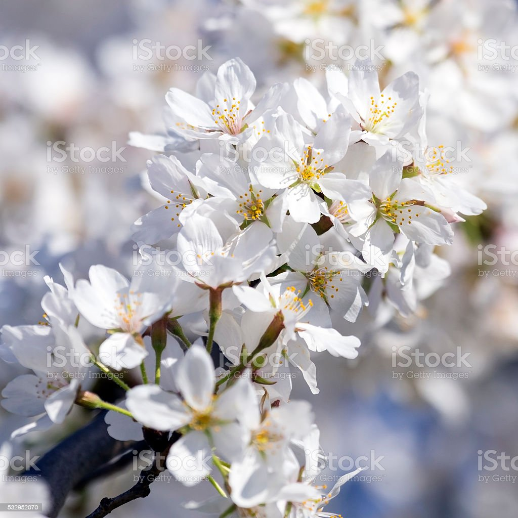 Close up of Cherry Blossom branch in full bloom stock photo