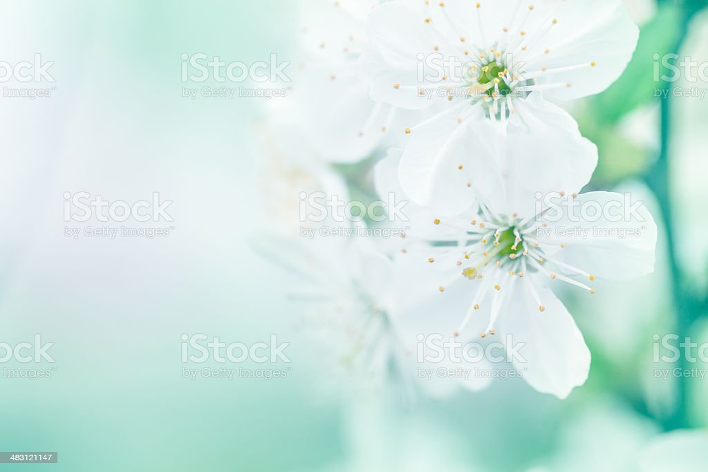 Close up of cherry blossom in spring stock photo
