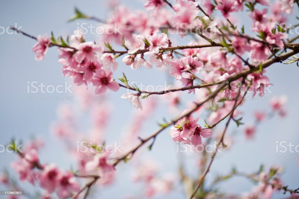 Close up of cherry blossoms on a clear day royalty-free stock photo