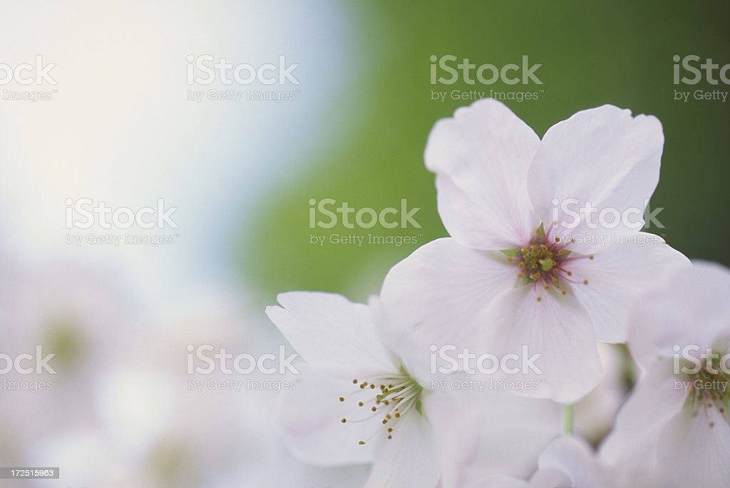 Close up of cherry blossoms royalty-free stock photo