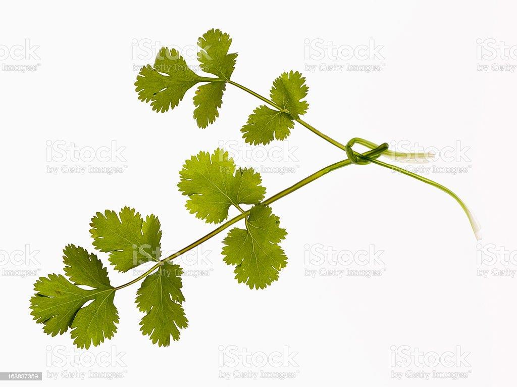 Close up of cilantro sprigs stock photo