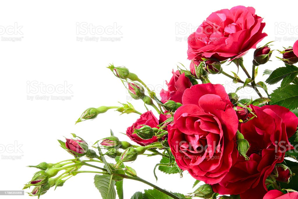Close up of climbing roses on a white background stock photo