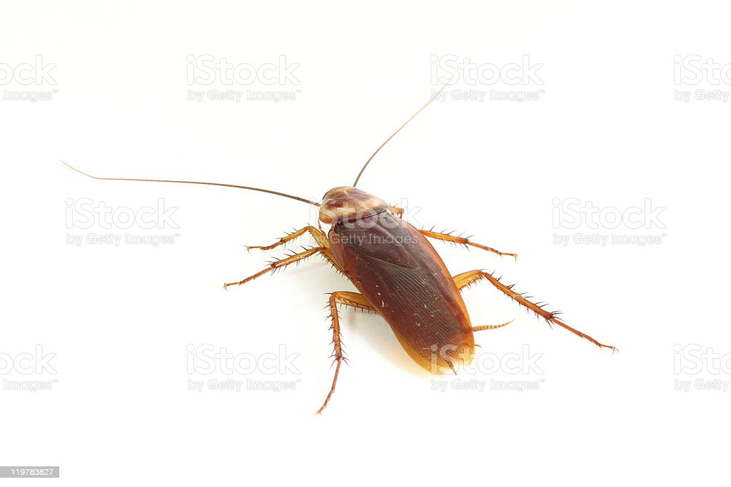 Close up of cockroach. royalty-free stock photo