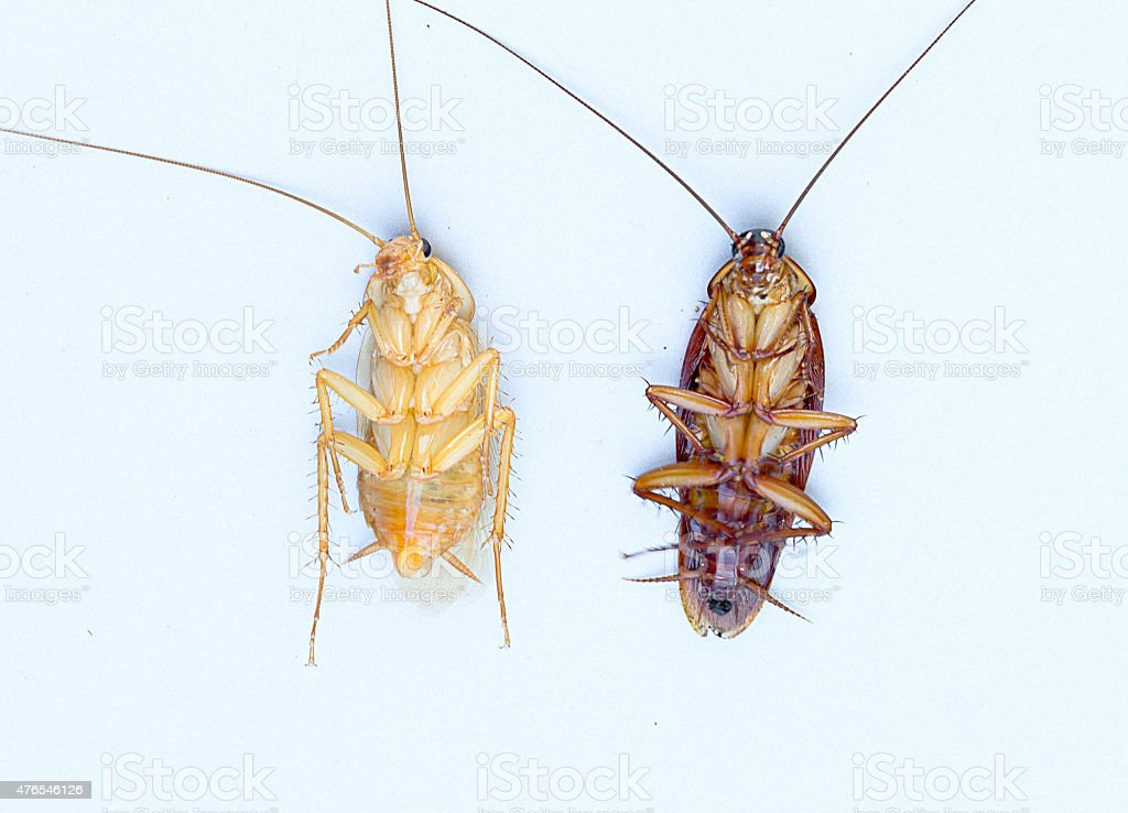 Close up of cockroach Taken from top. stock photo
