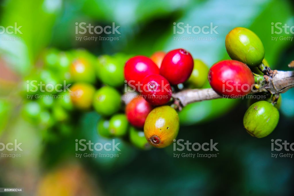 Close up of colorful coffee beans stock photo