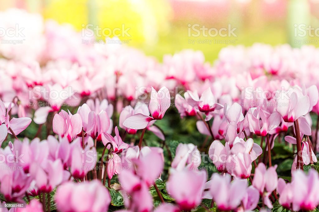 Close up of colorful variegated cyclamen flowers stock photo