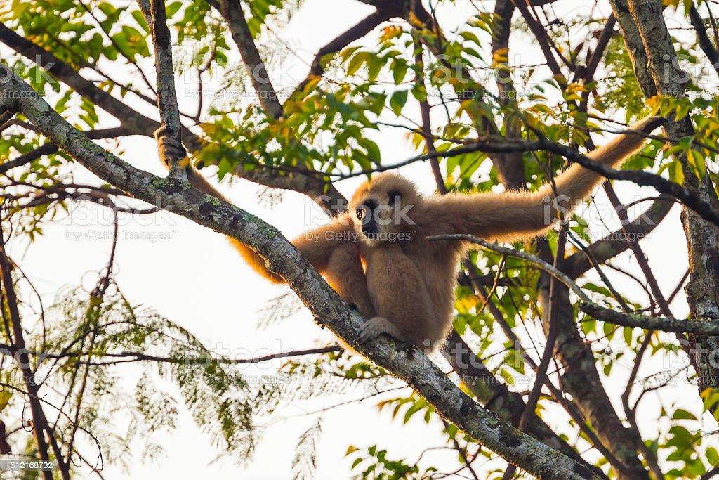 Close up of common gibbon, White-handed gibbon(Hylobates lar) stock photo
